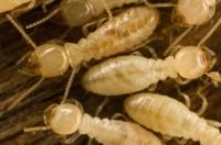 Diagnostic Immobilier Obligatoire : Etat Relatif à la Présence de Termites